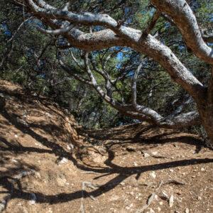 sentier_du_littoral_arbres_sculptes_par_le_vent